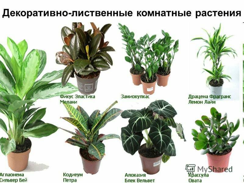 названия комнатных растений по фотографии точно