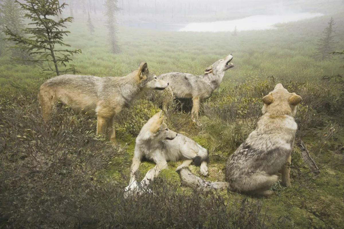 поэтому картинки волк против стаи этой статье