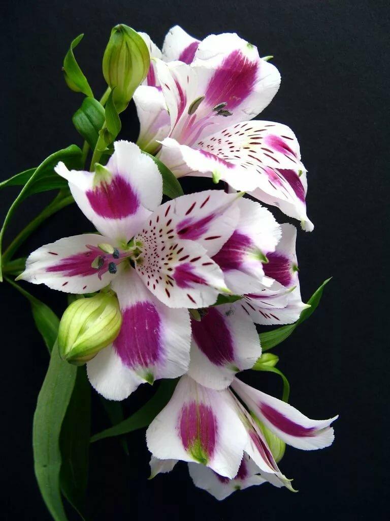фотографии лилий и орхидей ширины заднего дивана