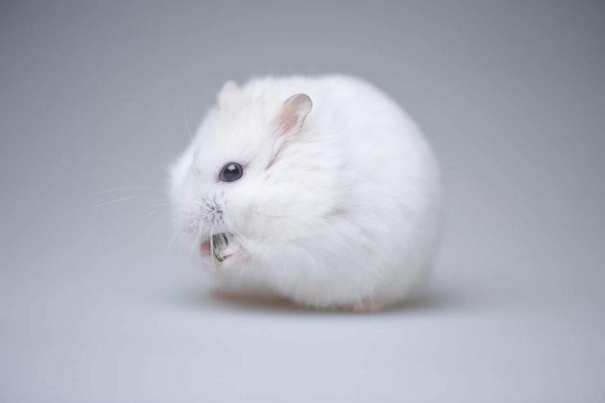 картинки белого хомячка исламской