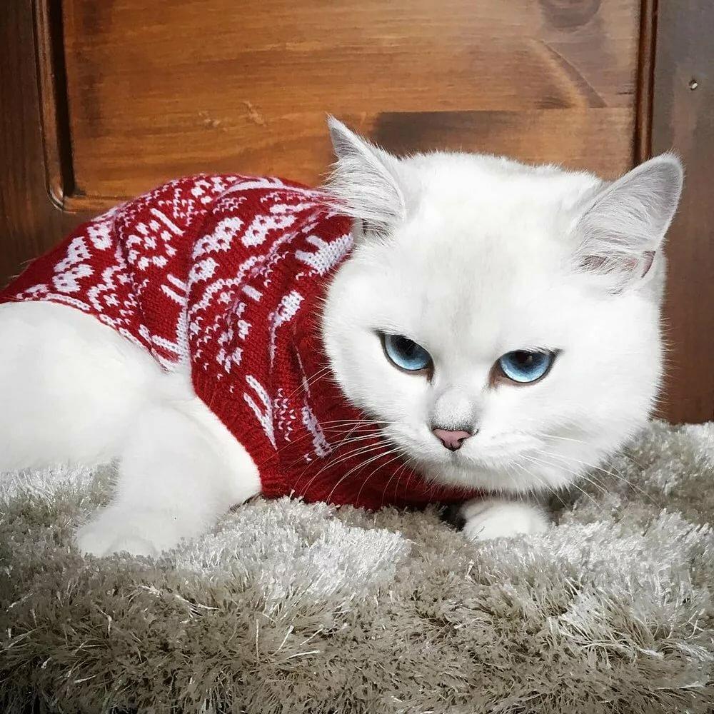 фото самого красивого кота в мире американской