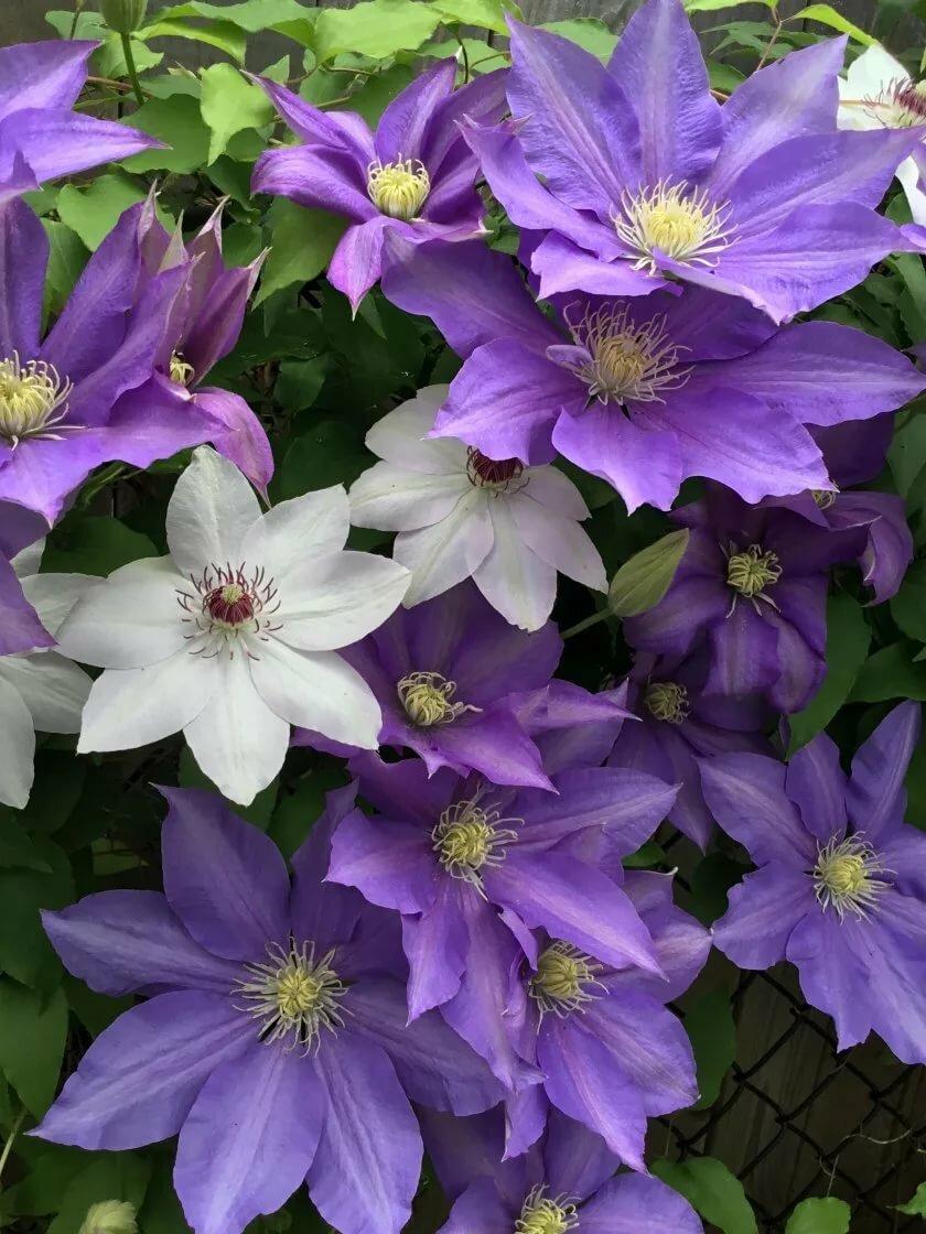 Картинки цветы клематис
