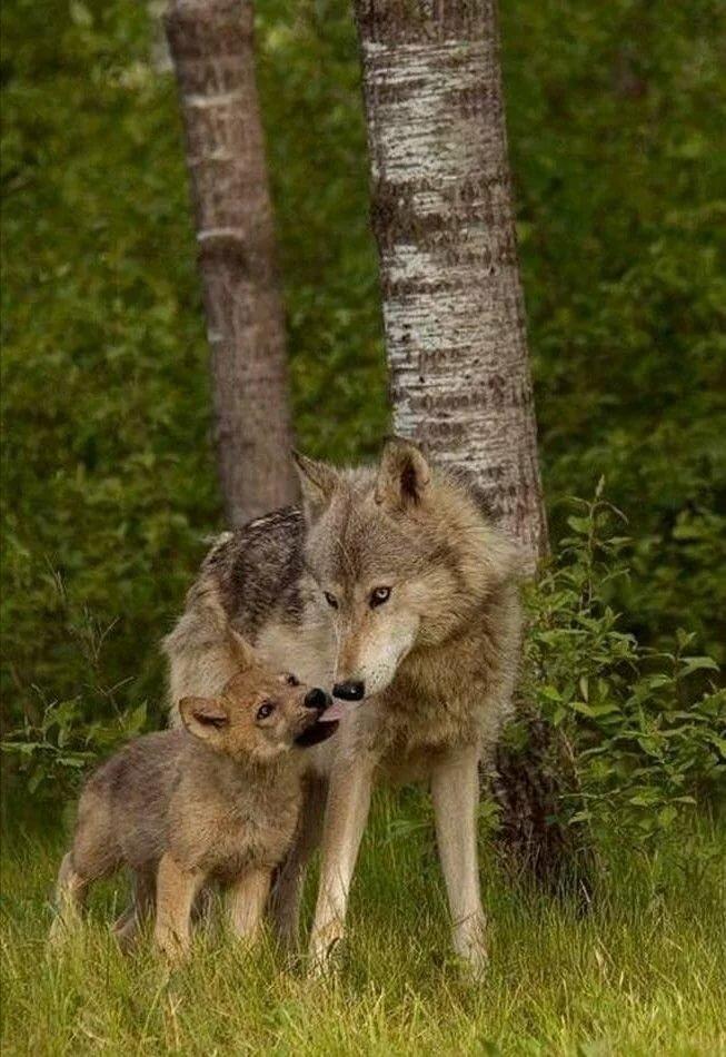 картинки волк и волчонок очень люблю окружающий
