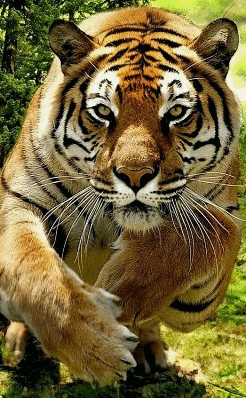 Анимации картинки тигры, мужчине лет