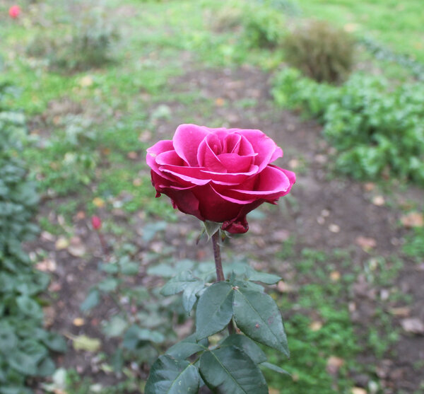 роза декабря