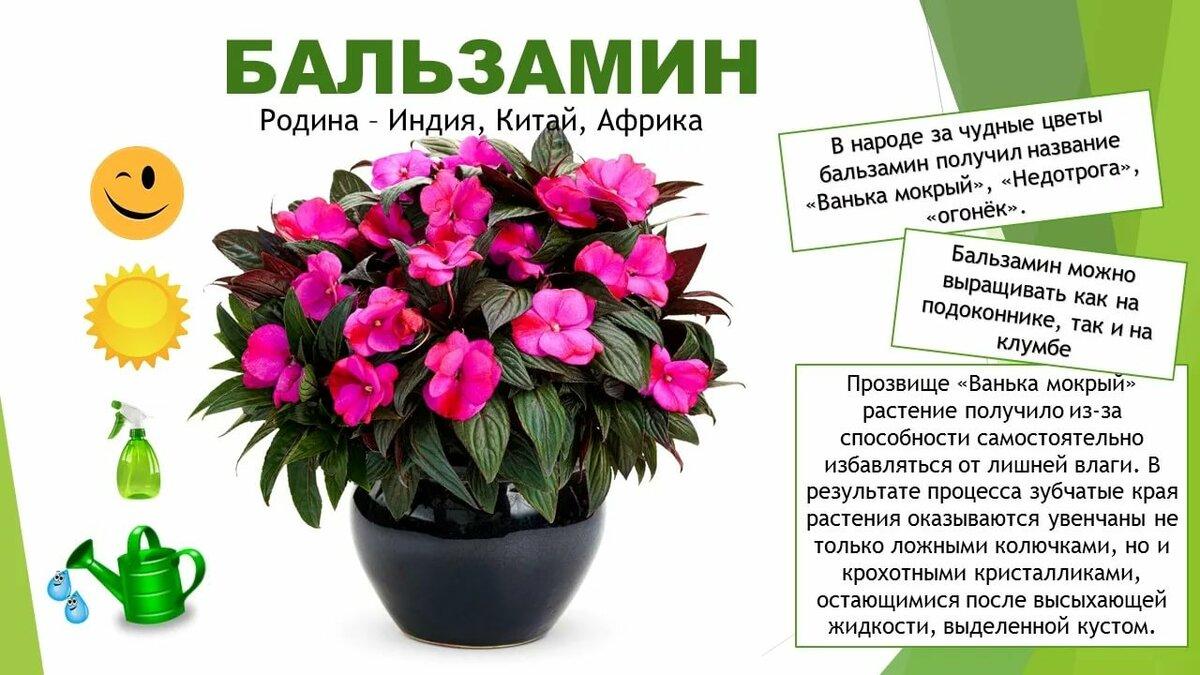 картинки комнатных цветов с названиями для подготовительной группы самых востребованных
