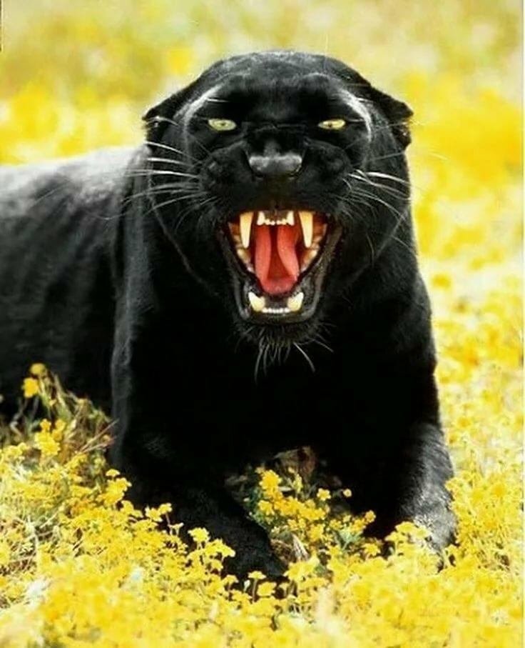 Картинки пантера черная злая