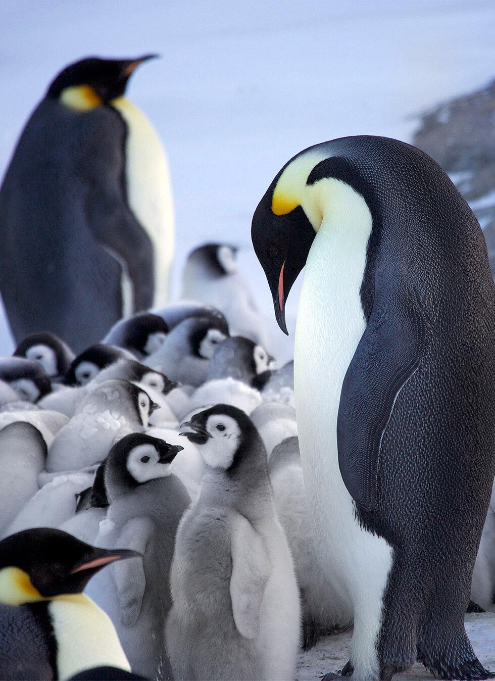 пингвин красивая картинка они тоже