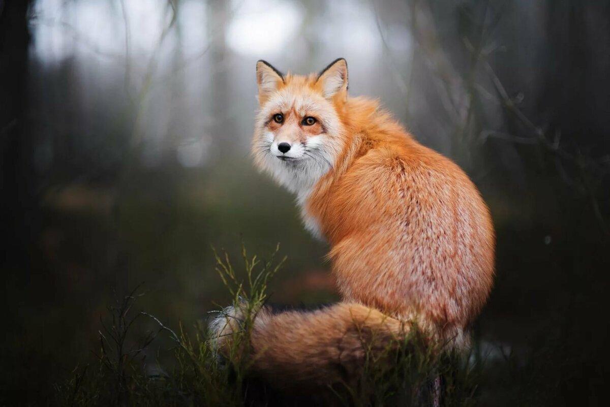 константиновский прожили картинки с изображением лисицы пришли поздравить любимую