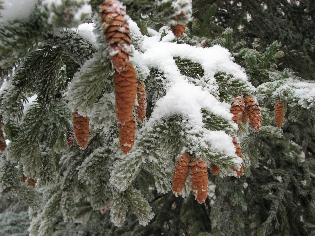 картинки на рабочий стол снег на елках честно, выглядит это