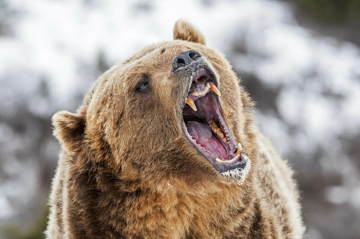 Медведь с зубами картинки