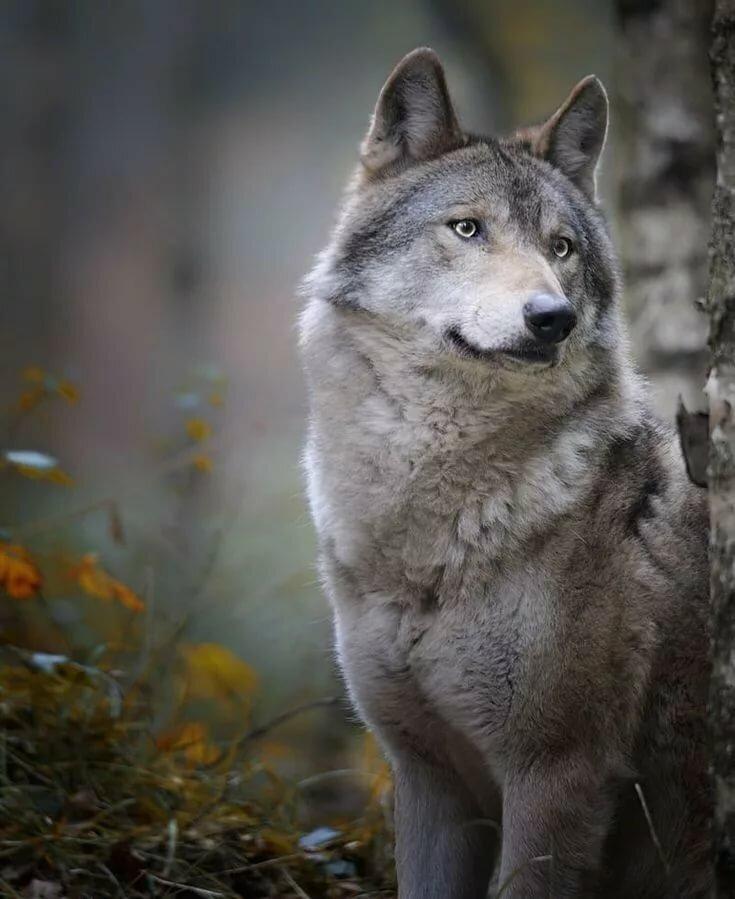 фотографии волков одиночек садоводы придают