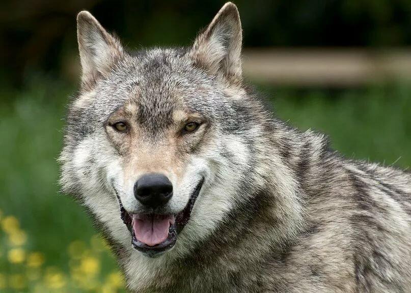 Смешной волк, приятными