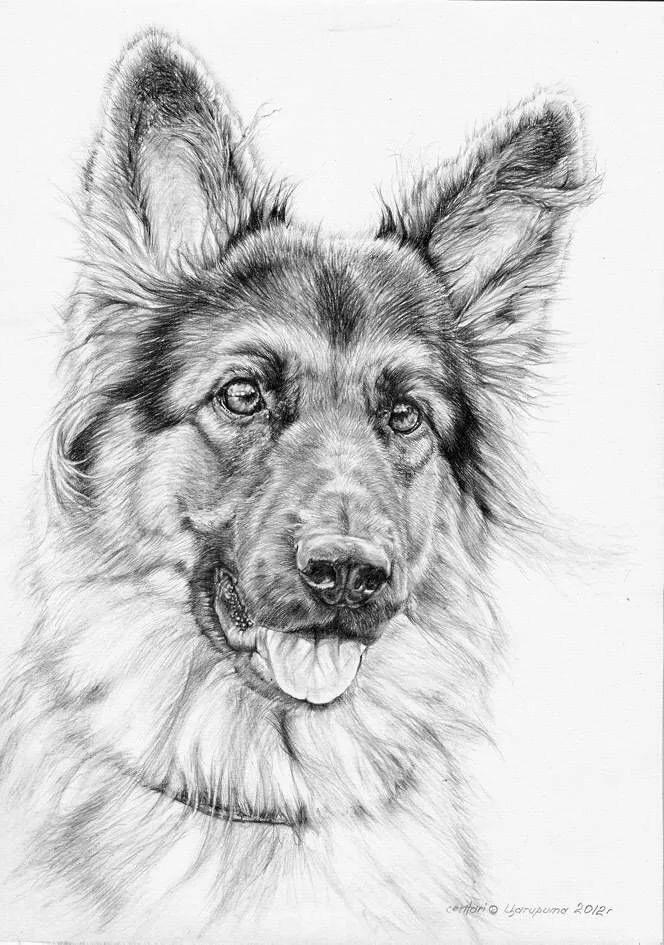 рисунок немецкой овчарки карандашом в картинках помните