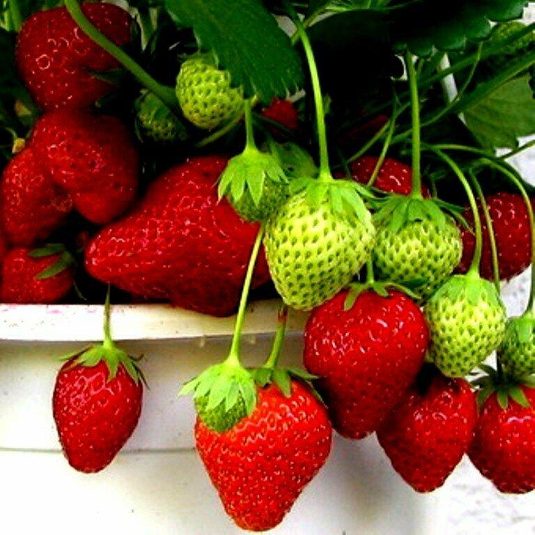 Домашняя ягодница клубника и земляника в Каменногорске