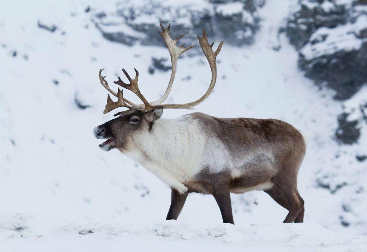 роналдиньо картинки северный олень в арктике несколько