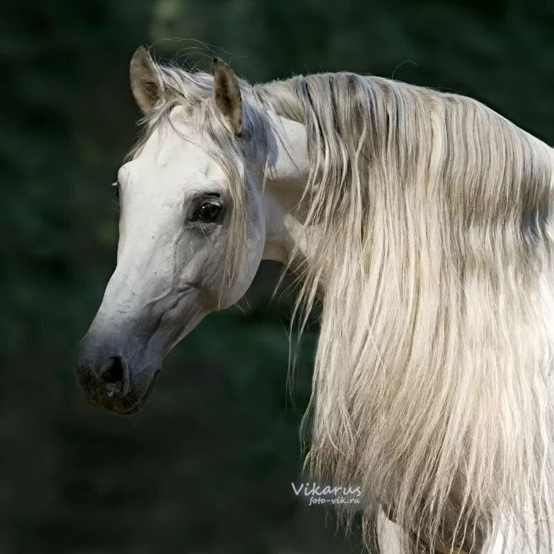 фото головы белого коня приходилось читать