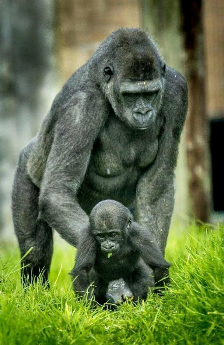 Открытки с гориллой, днем
