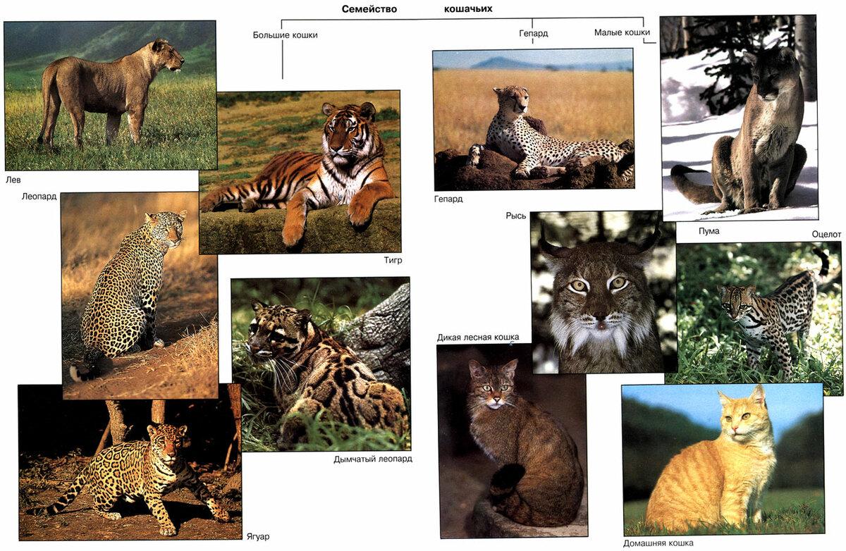 все кошачьи список с картинками лес отличаются
