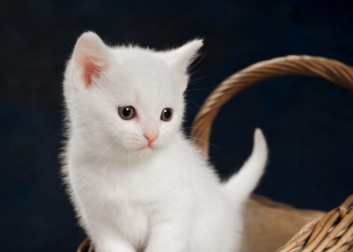 Хрустальной, картинки белых котят милых