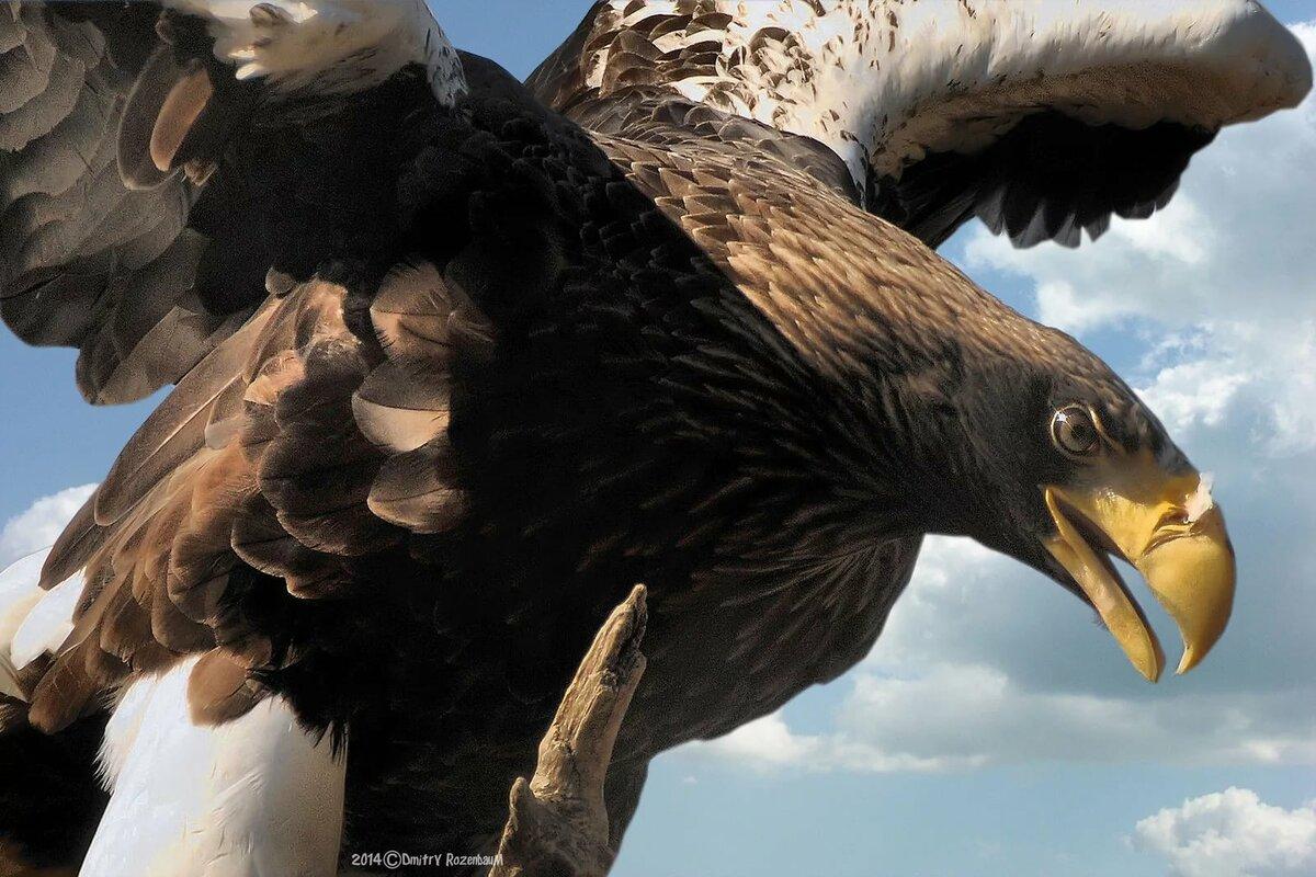 Атакующий орел картинка