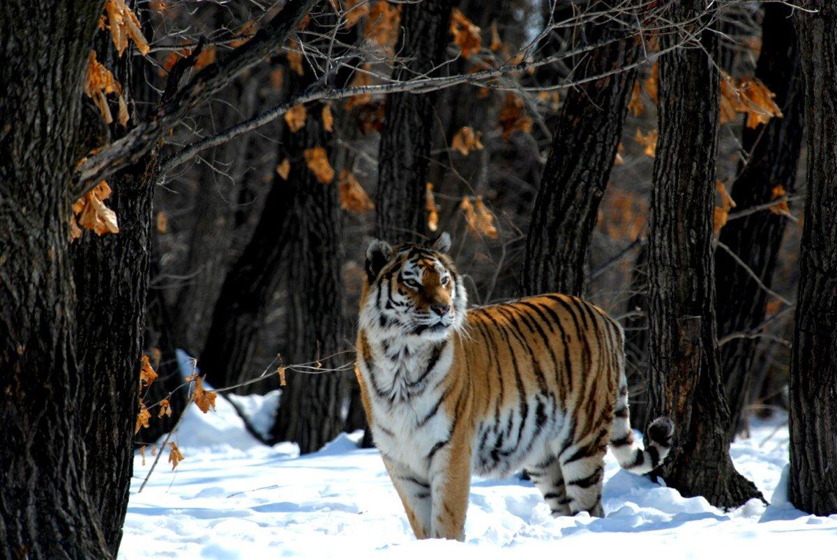 Животные дальнего востока картинки с названиями