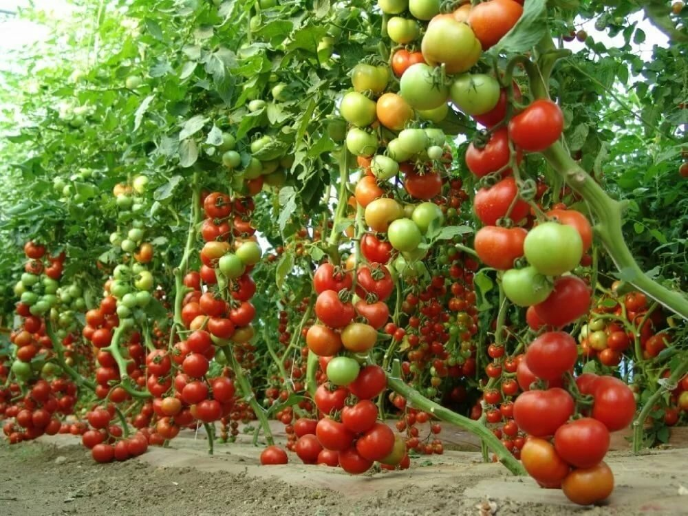 Картинки грядки с помидорами