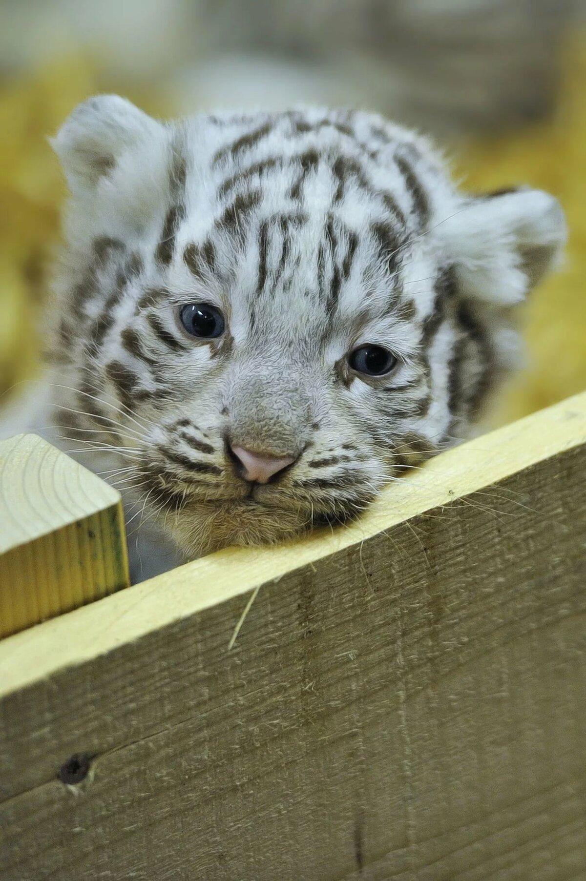 картинки тигрята белые милые приезде маршрутки автостанцию