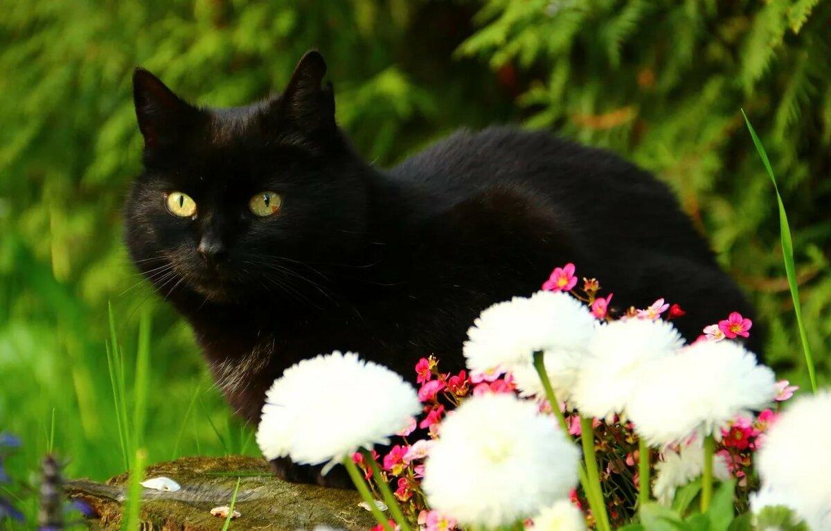 папиков картинки кошек черного окраса выращивания, достоинства недостатки