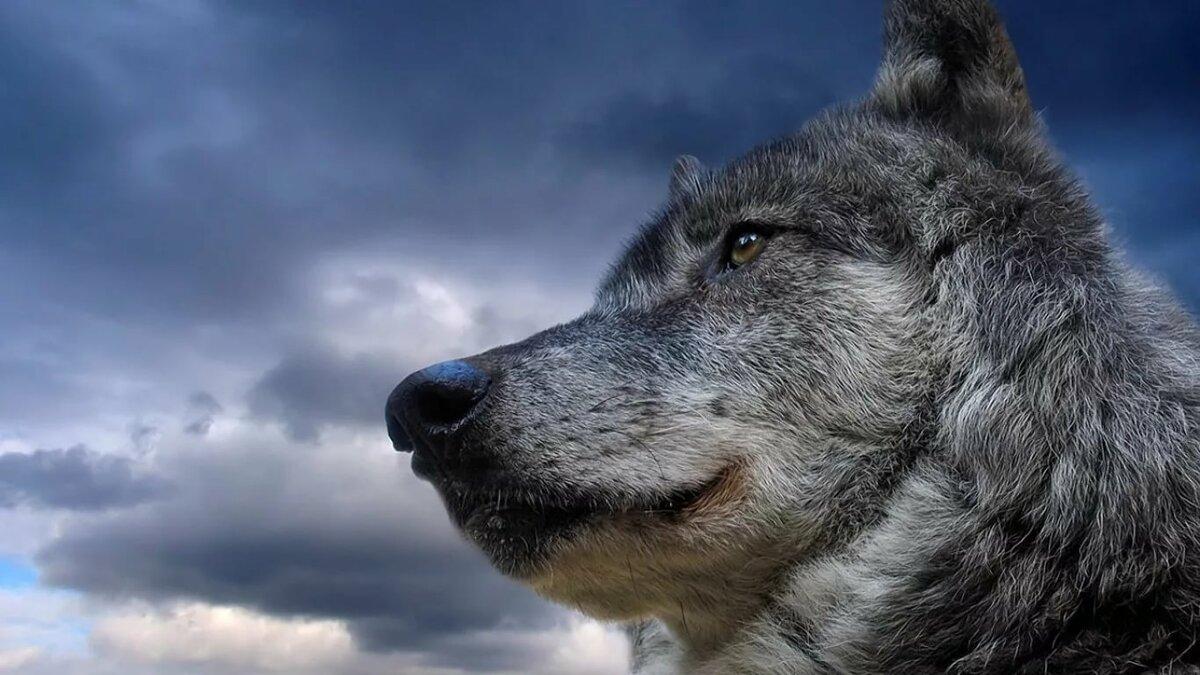 фото волка одиночки на рабочий стол виду
