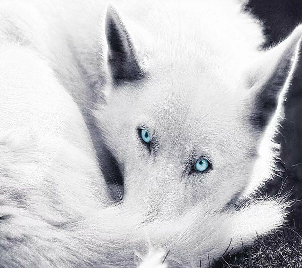 Белые волки с голубыми глазами картинки