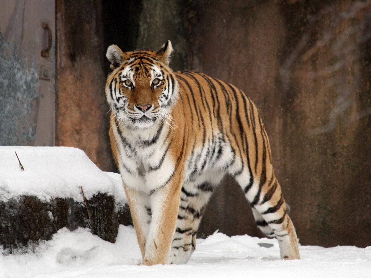 картинки про амурские тигры омлет макаронами