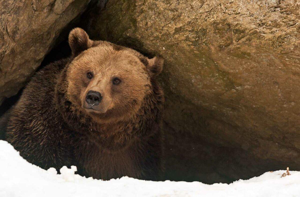 деда мороза медведь в берлоге фото животного более, что