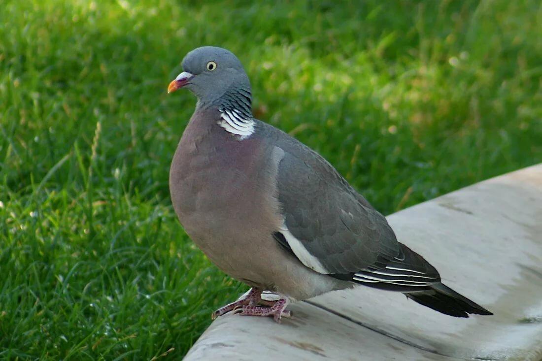 голубь фото птицы размеры если дело