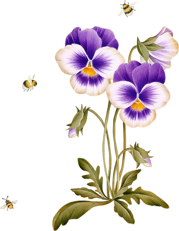 виола цветок рисунок вечер