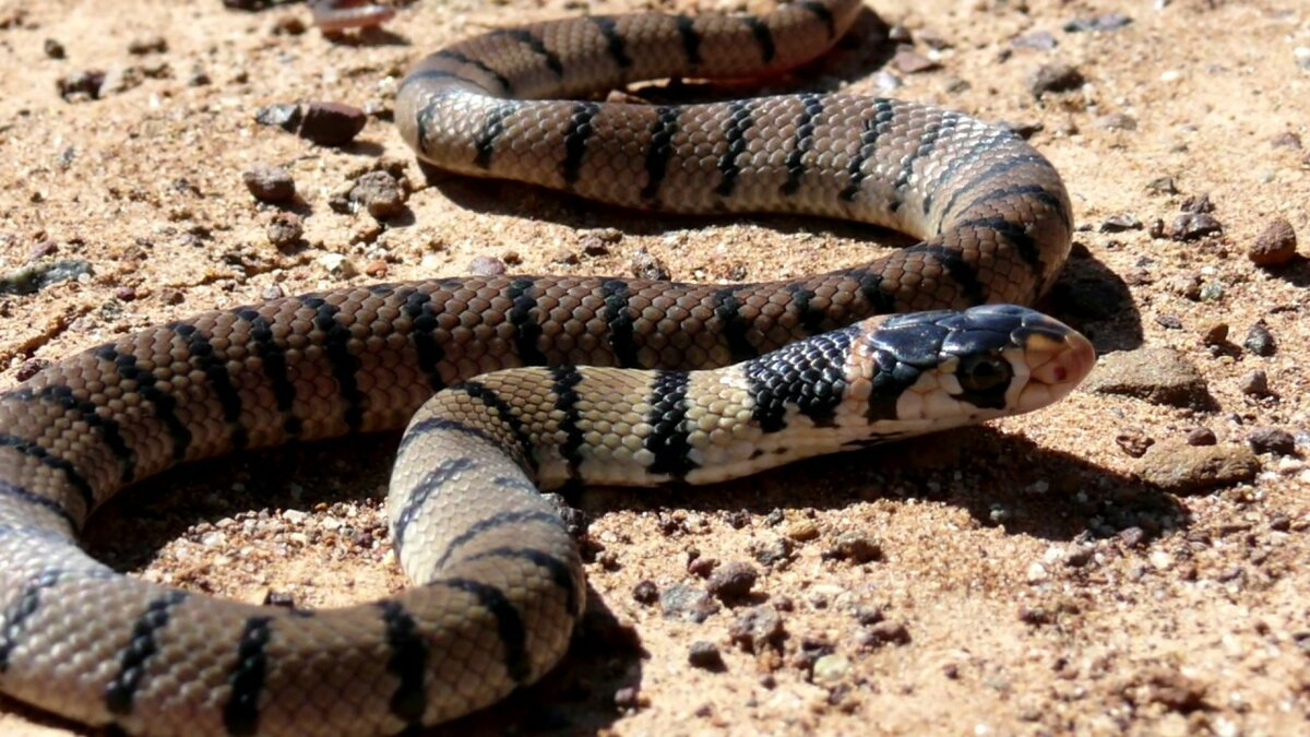картинки полосатых змей труде, быту