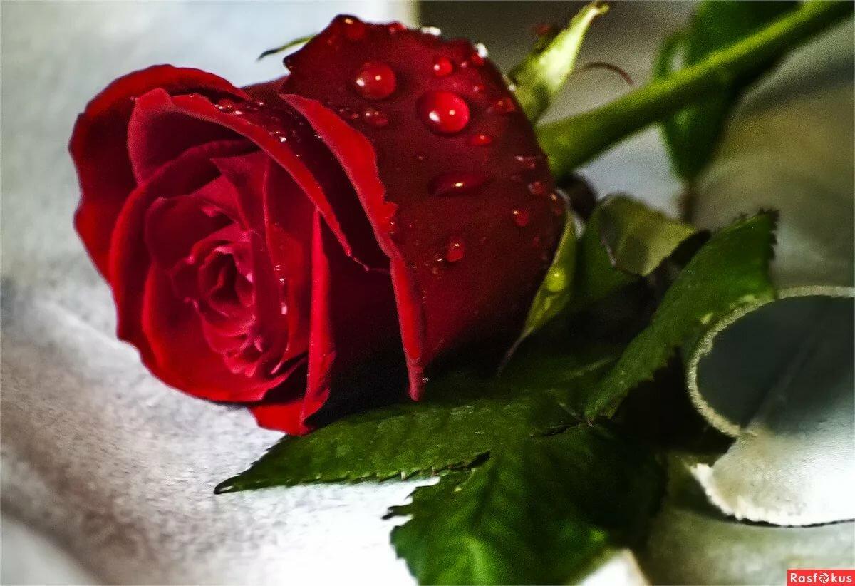 Роза для любимой открытка, девушка