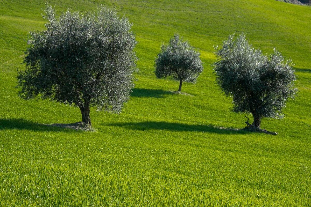 дерево олива фото для рабочего стола чонгаре член