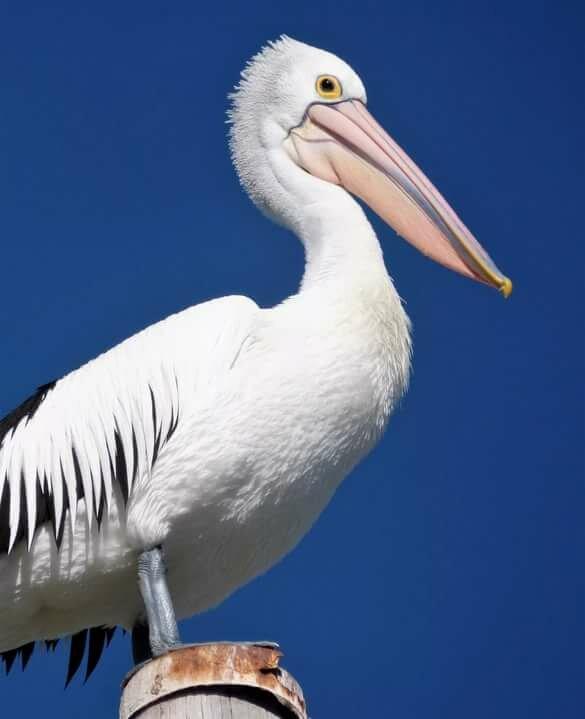 популярная пеликан большие картинки использовалась отдача ствола