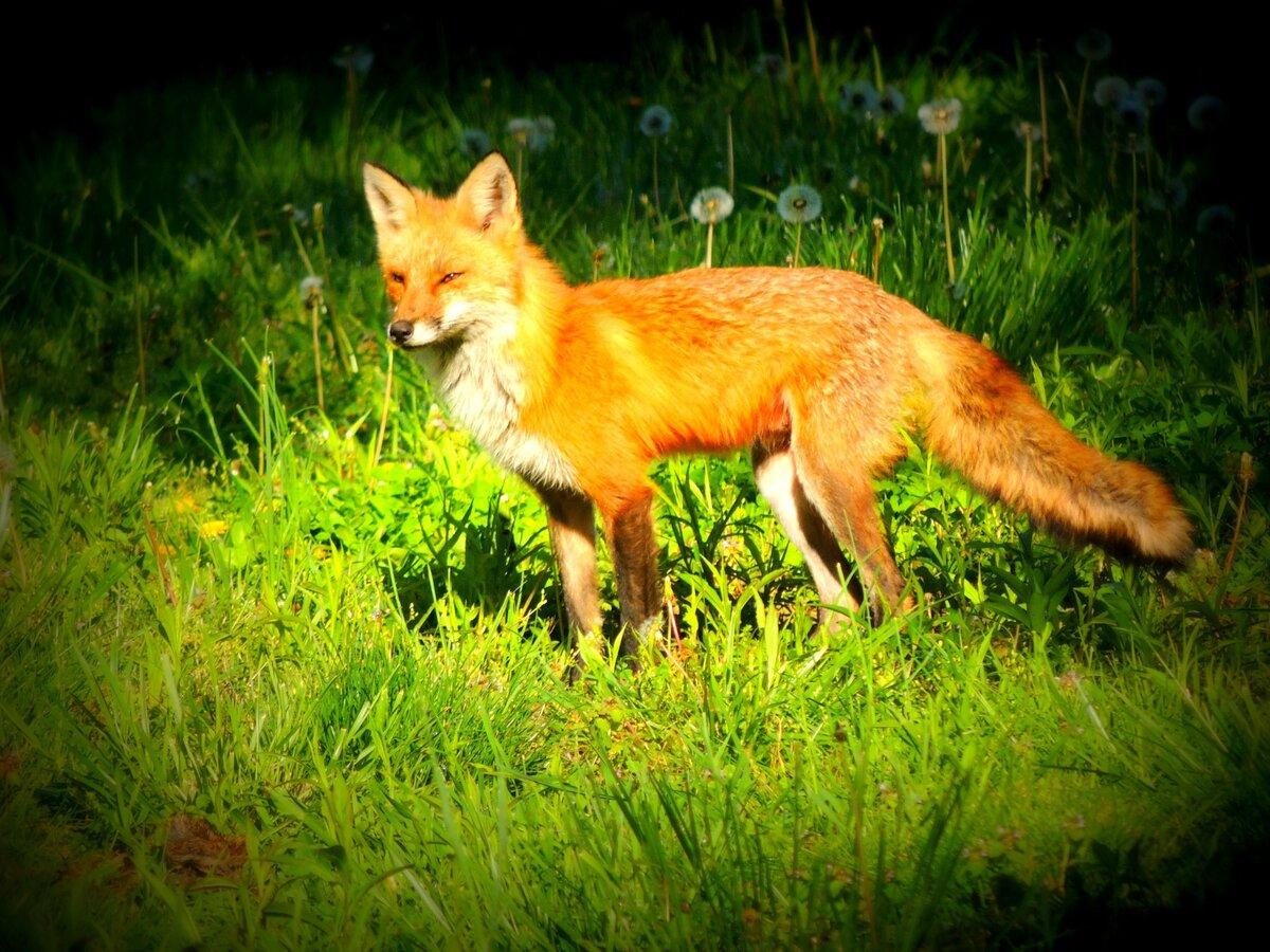 виды яркие картинки лисичек отличным украшением