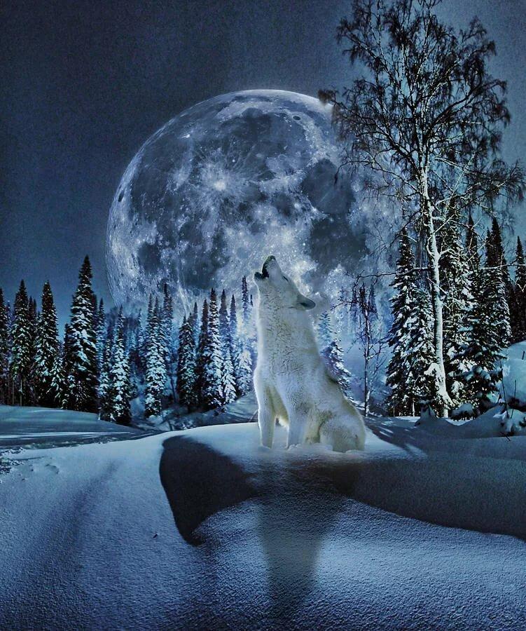 волк луна зима картинки владельцы заключают братьями