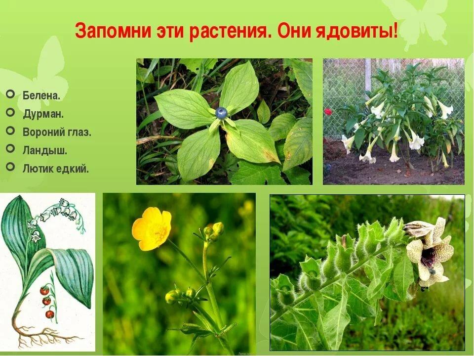 Ядовитые растения и картинки
