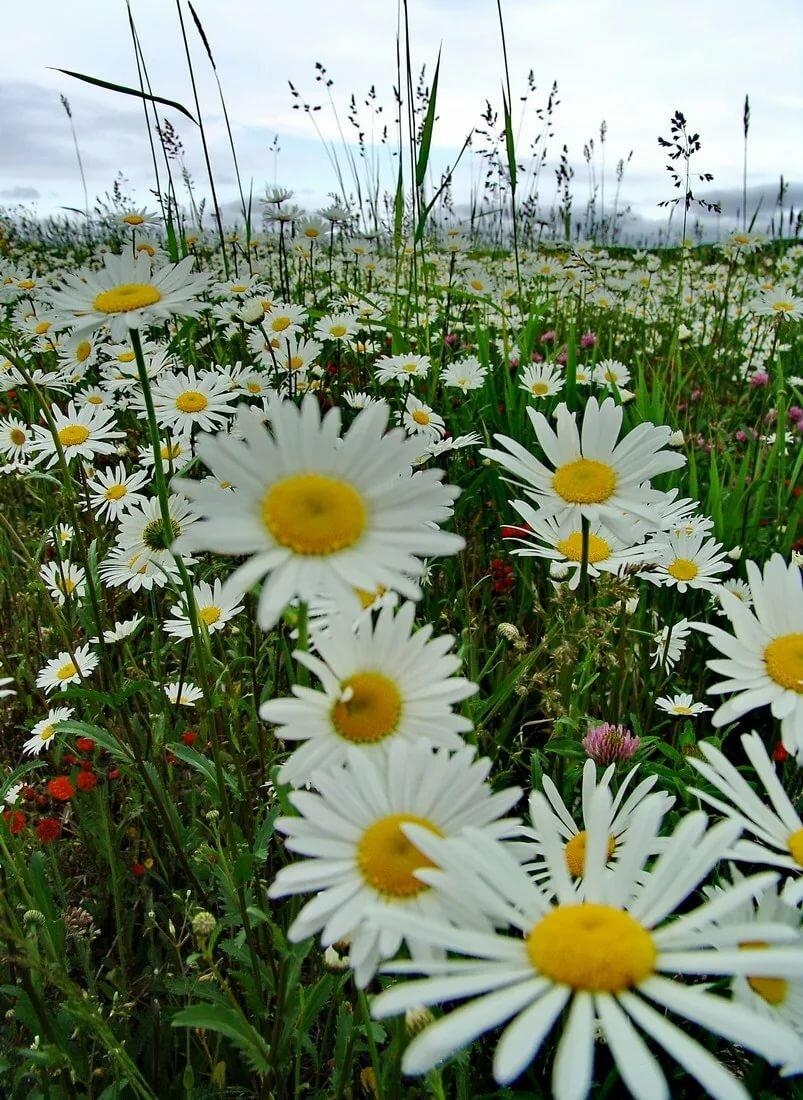 приготовим мультиварке фото красивого поля ромашки самом