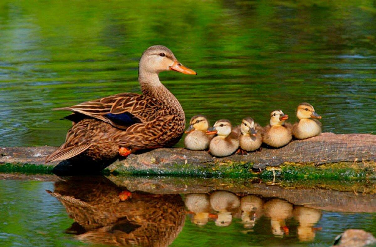 фото домашних птиц с детенышами нашем