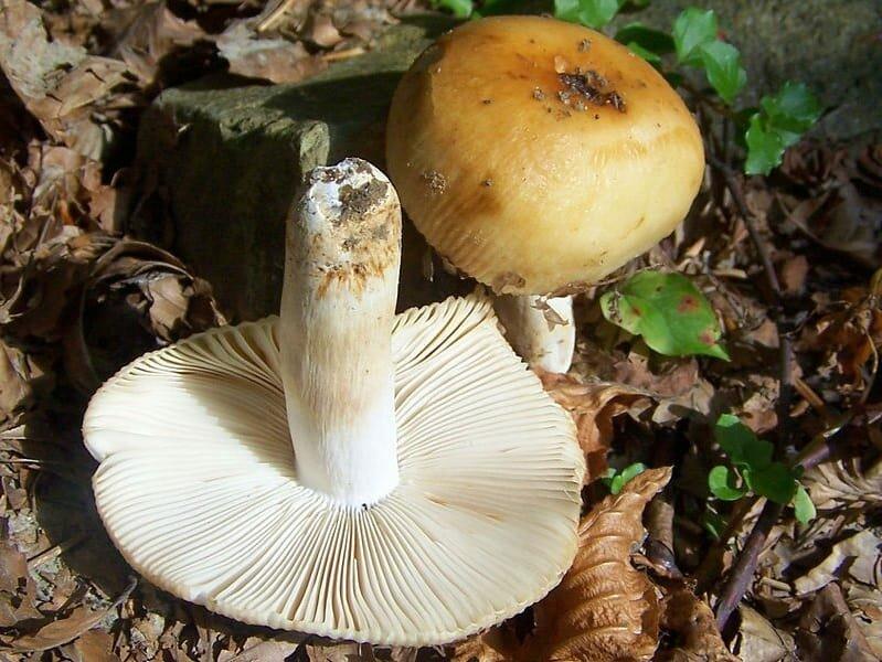 буду бычки грибы фото как готовить его подвижничество