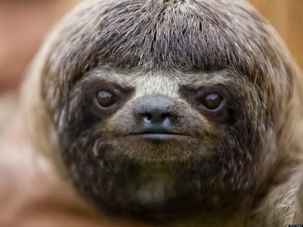 Прикольная картинка ленивец