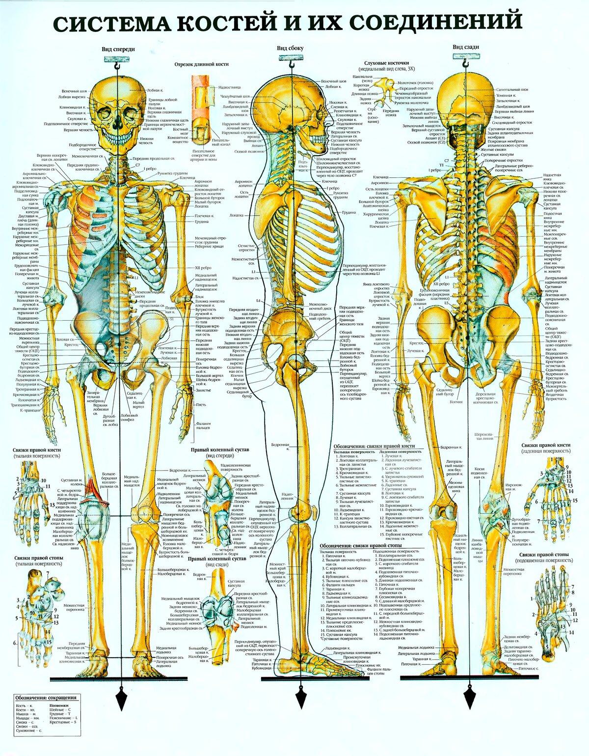 скелетная система картинка