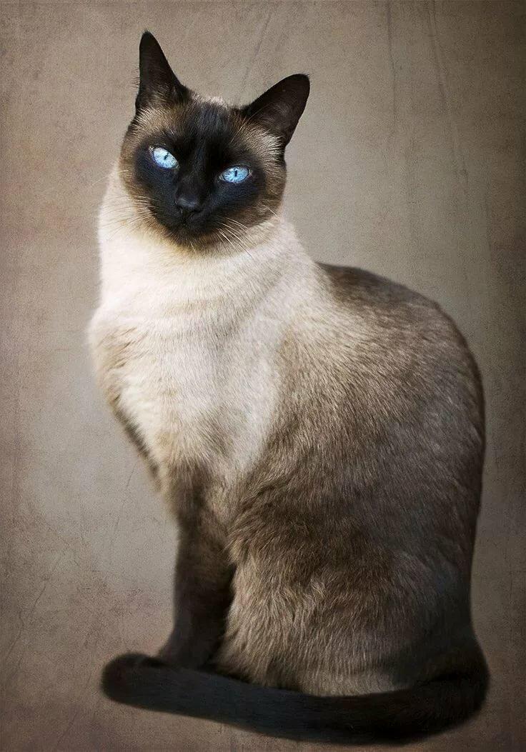 Коты сиамские картинки