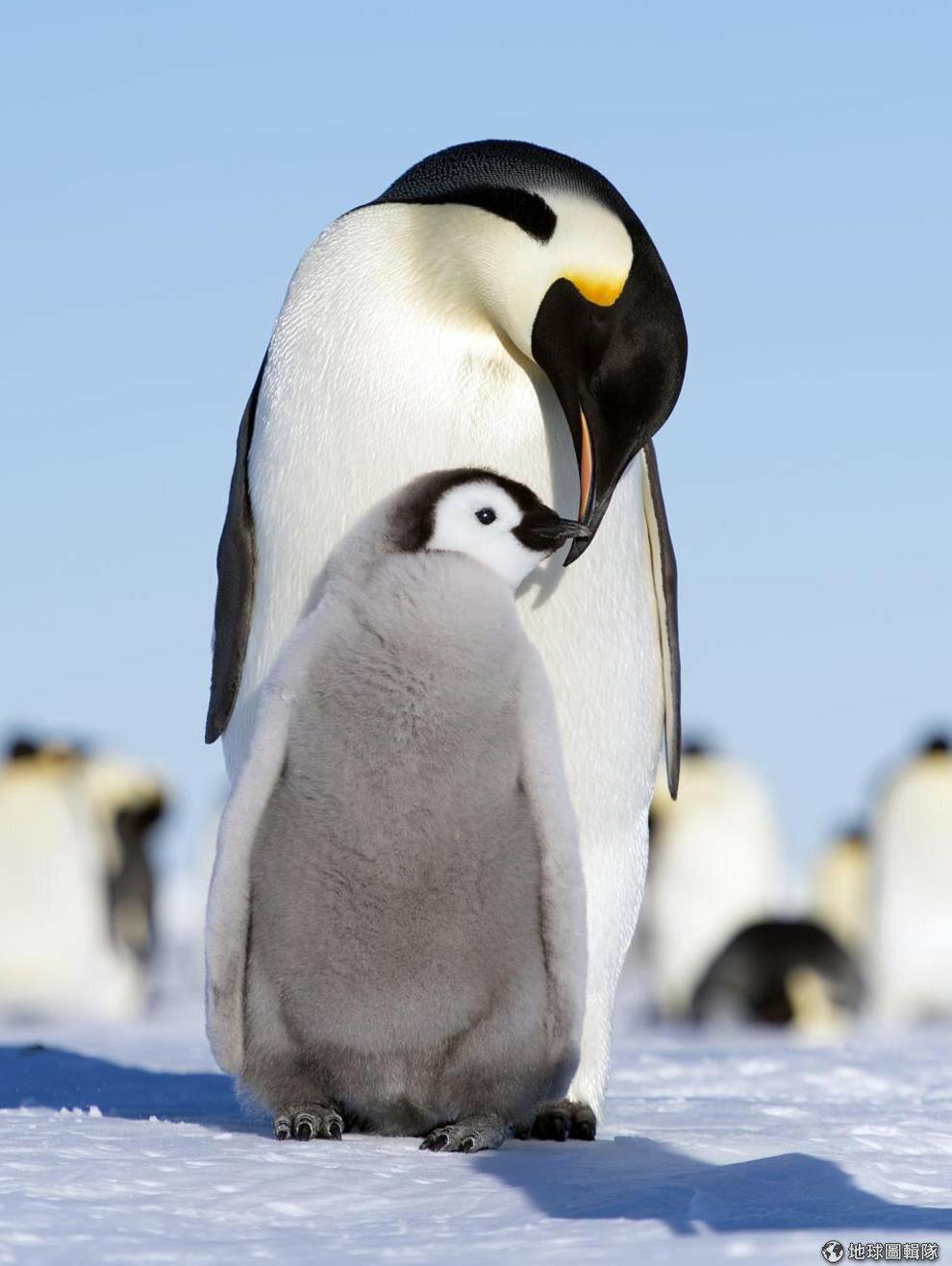 Пингвин с детенышем картинки
