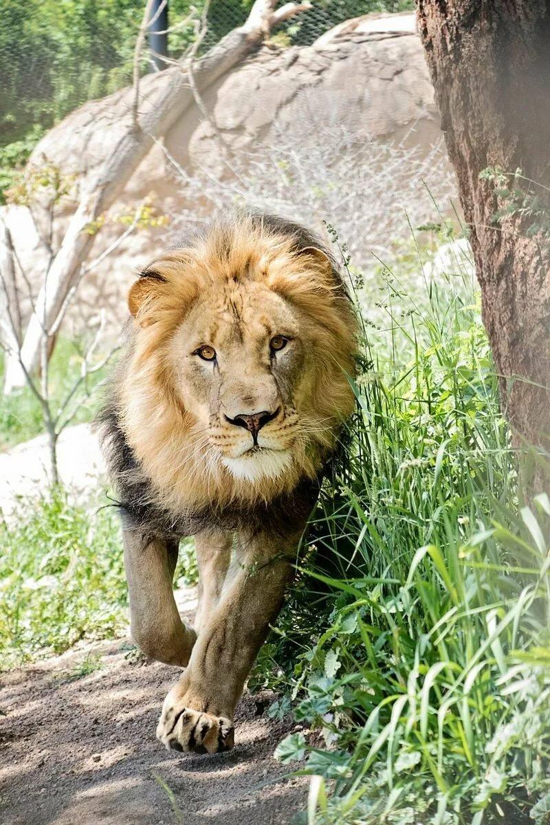 карту картинки гордость льва проблема